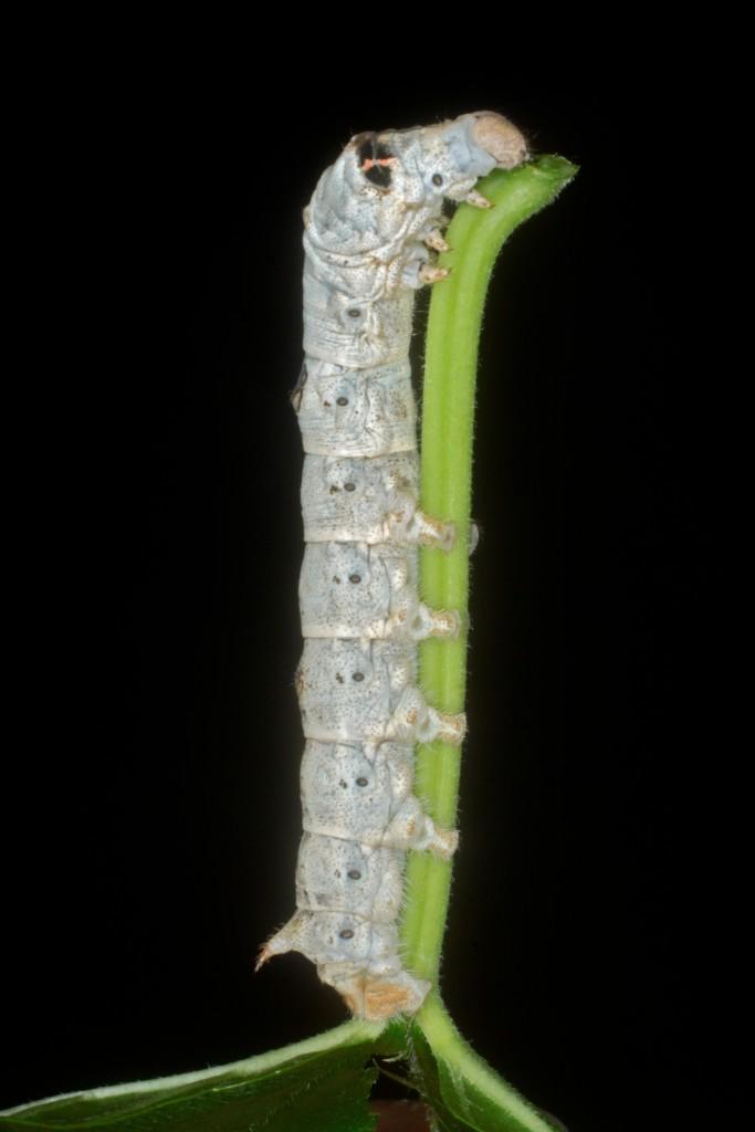 2• Les chenilles du bombyx ou ver à soie