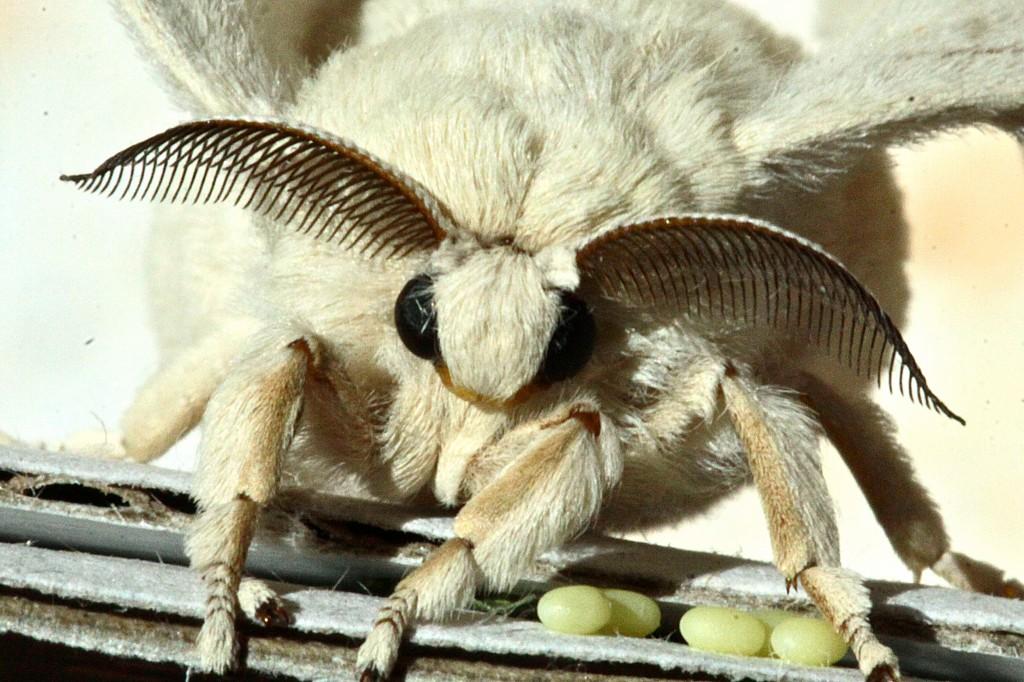 6•le mâle bombyx