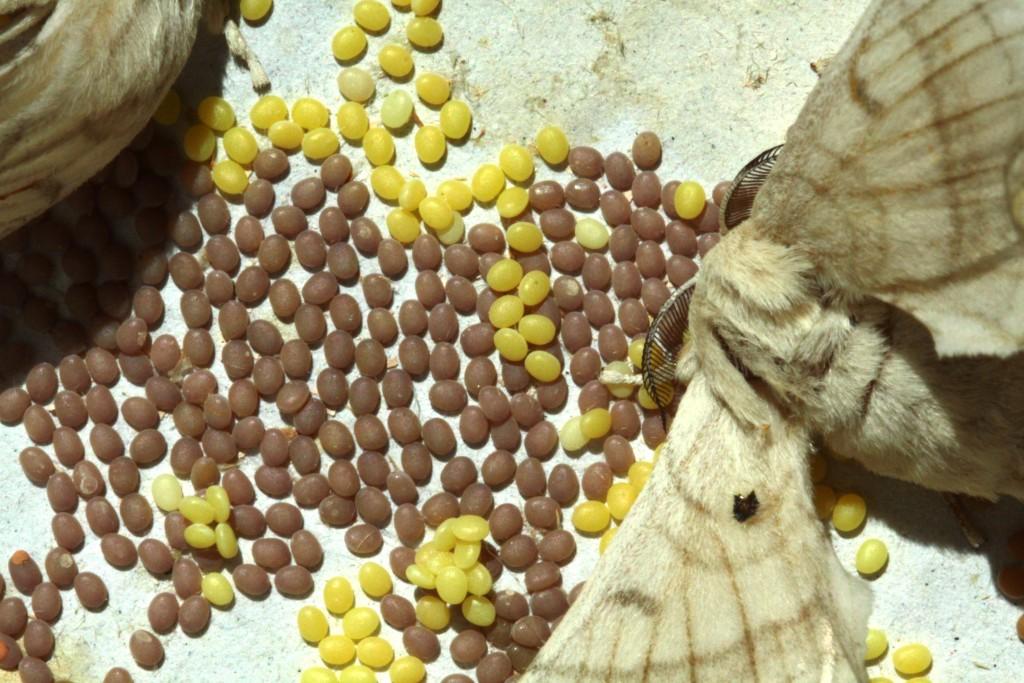 7•La femelle bombyx pond ses oeufs